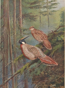 Beebe, A monograph of the pheasants, Plate XLV: de Koklasfazant (Pucrasia macrolopha) door George Edward Lodge